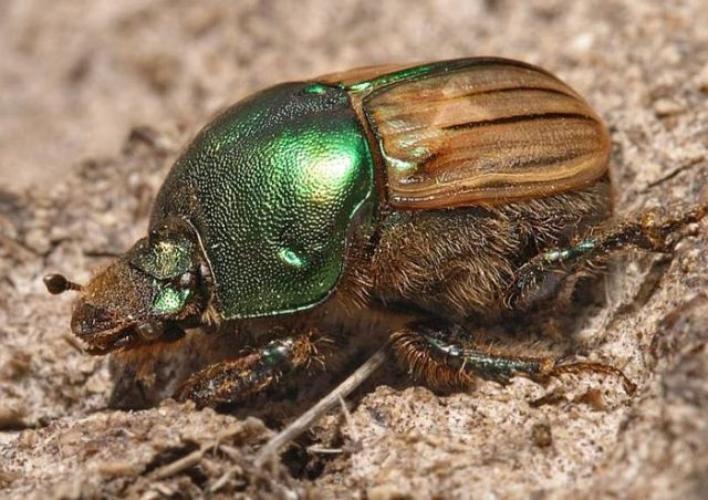 Навозный жук – самое сильное насекомое