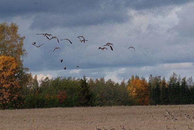Птицы находят дорогу и строят перелеты по магнитным линям Земли
