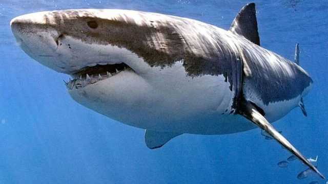 Акулы обладают электрорецепцией – способностью улавливать электрические сигналы