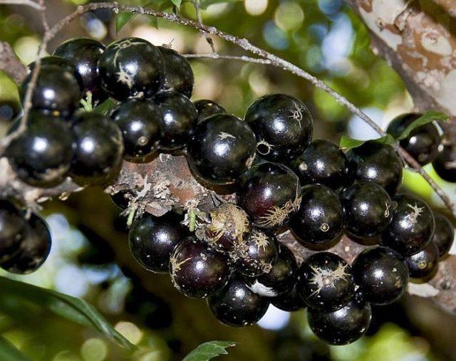 Джаботикаба – удивительное дерево с плодами на стволе и ветках