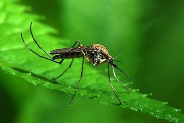 Писк комара – это звук взмаха крыльев, а самцы никогда не кусают людей