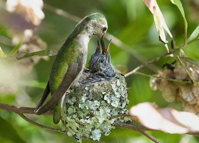Колибри умеет летать назад и делает 100 взмахов крыльями в минуту