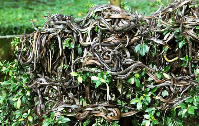 Остров Кеймада-Гранди в Атлантическом океане населяют только ядовитые змеи