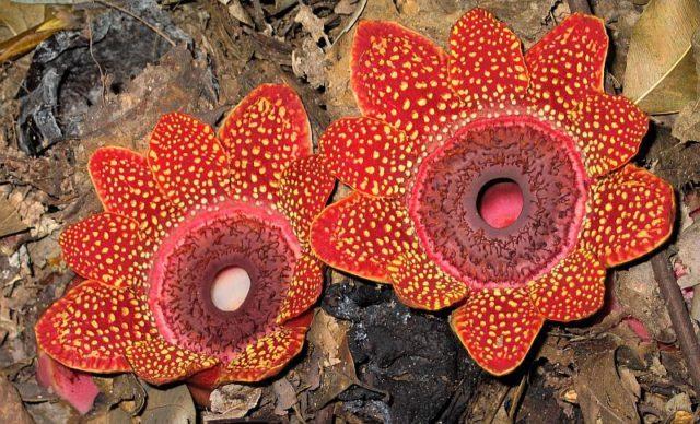 Цветок Раффлезия Арнольда весит более 8 кг и имеет диаметр около метра