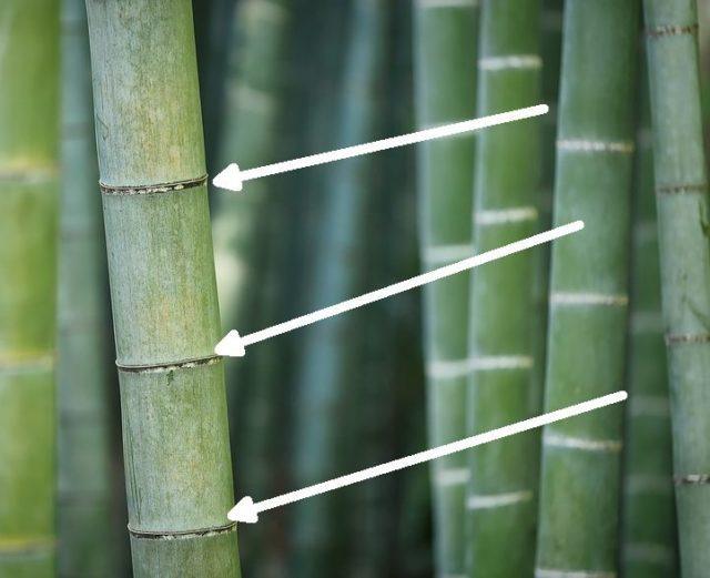 За сутки бамбук может вырасти на полметра