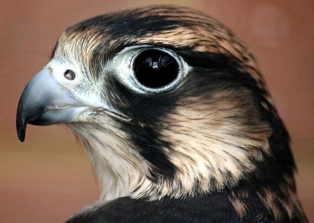 В пикирующем полете птица сапсан развивает скорость 360 км/ч