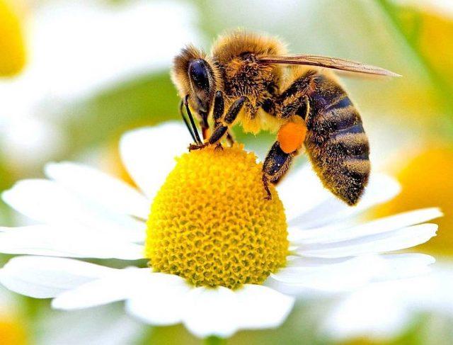 Для изготовления одного грамма меда пчела облетает 2000 цветков