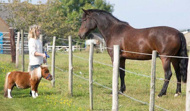 Высота в холке лошадей породы фалабелла составляет 84 см