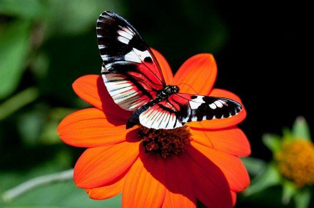 Бабочки чувствуют вкус ногами и делают это мгновенно