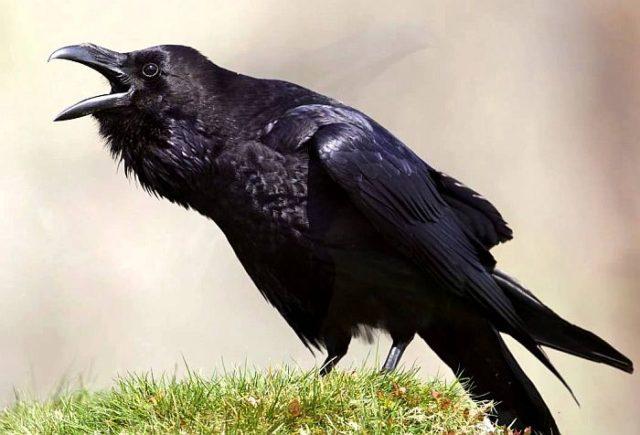 Вороны умеют считать и способны логически мыслить