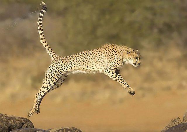 В погоне за жертвой гепард разгоняется до 120 км/ч