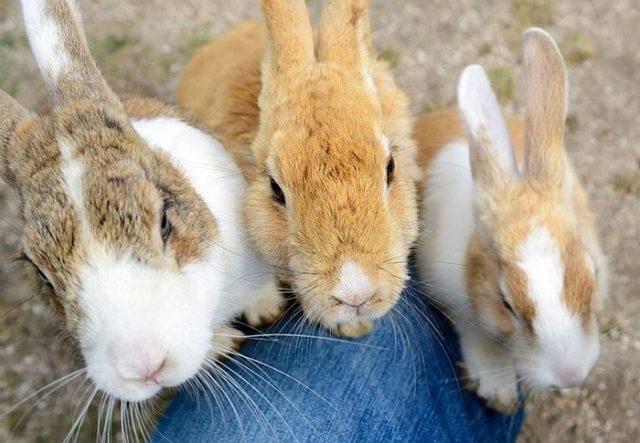 На японском острове Окуносима проживает более 700 кроликов