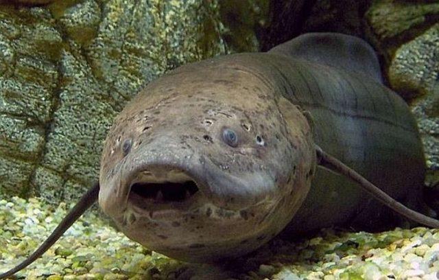 Рыбы ланг переносят засуху и могут жить вне водоема полгода