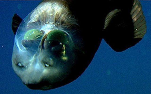 На севере Тихого океана водится рыба с прозрачной головой