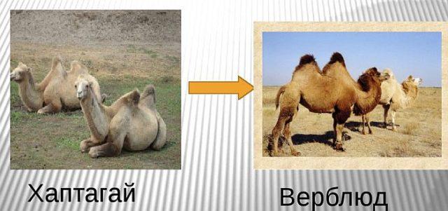 Дикие верблюды гибнут от золота – причины исчезновения хаптагая