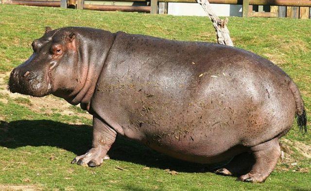 Красный пот бегемота – результат работы особой железы