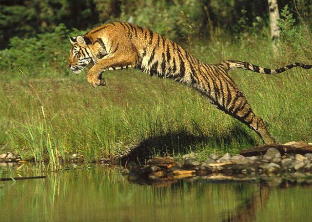 Тигры могут обходиться без еды две и даже три недели
