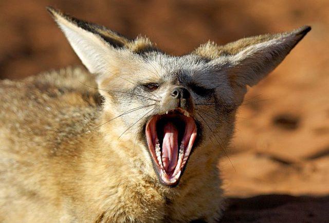 У большеухой лисицы около 50 зубов – она самая зубастая в семействе псовых