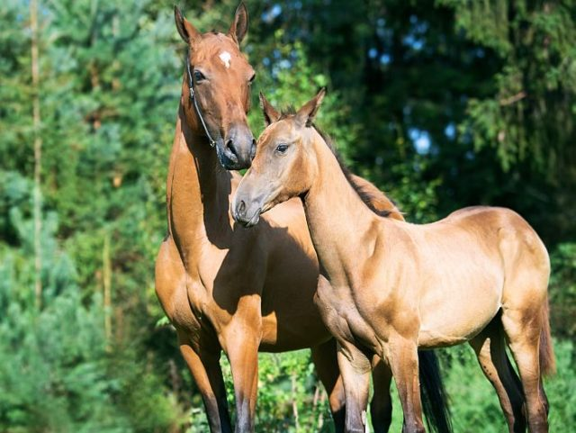 Ахалтекинский конь – самый красивый и преданный среди лошадей