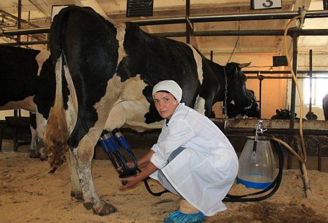 Коровы плачут от боли и душевных ран