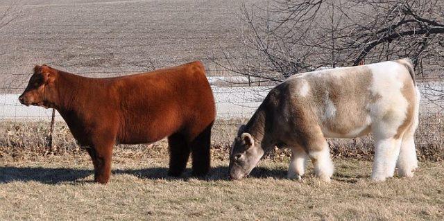 У декоративных плюшевых коров нет вымени и рогов