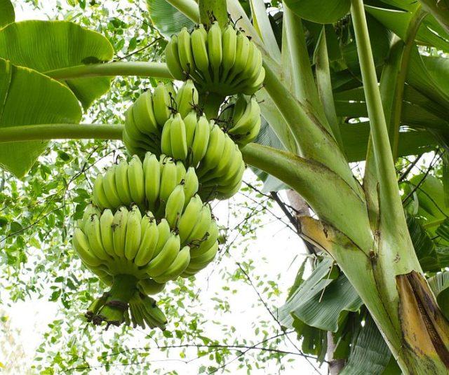 Почему банан – трава, а его плоды – ягоды
