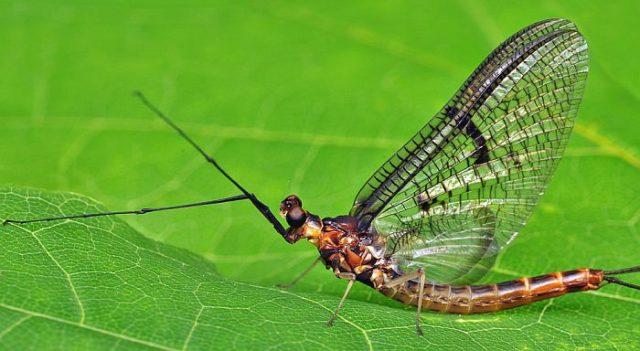 Поденка насекомое
