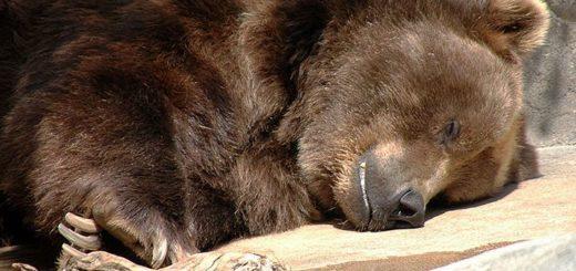 Медведи спят от трех до пяти холодных месяцев, но не везде