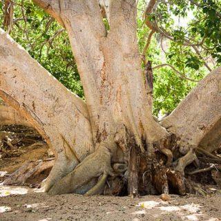 Длина корней Африканского фикуса достигает 120 метров