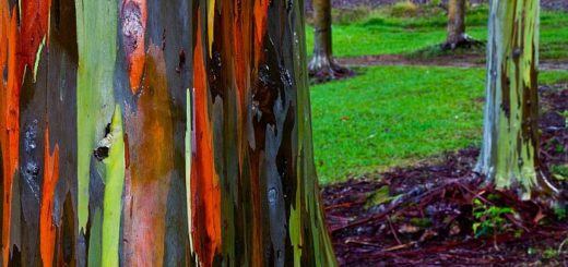 Радужный эвкалипт – самое яркое дерево в мире