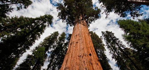 Местонахождение самого высокого дерева в мире держат в секрете