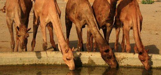 В горбе верблюда жир, а не вода