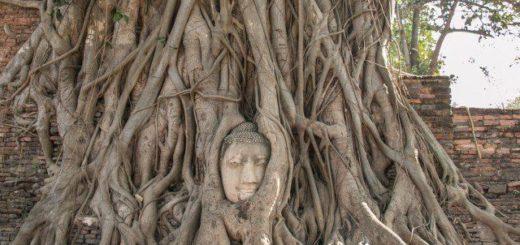 В Таиланде растет дерево с головой Будды между ходульными корнями