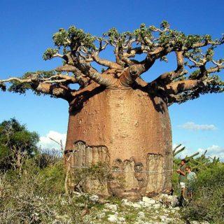 Баобаб живет несколько тысяч лет и постепенно уходит в землю