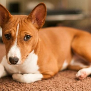 Басенджи — собака, которая не умеет лаять