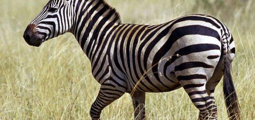 Полоски зебры служат для отпугивания насекомых