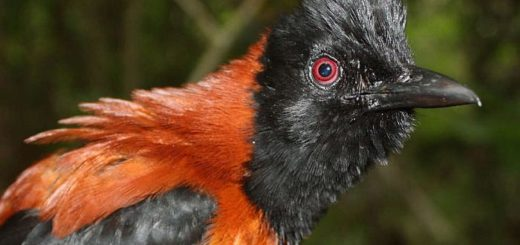 Питоху — единственная птица, организм которой наполнен ядом