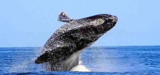 Самым крупным млекопитающим планеты является синий кит