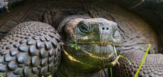 Слоновая черепаха может жить без еды и воды до полутора лет