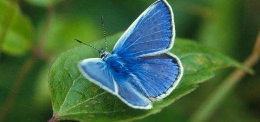 Голубянка – самая маленькая бабочка с длиной крыла не более 2 см