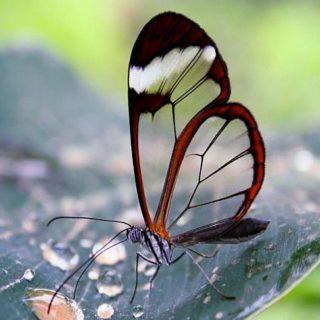 На земле есть бабочки с прозрачными крылышками – Грета Ото