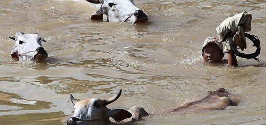 Коровы могут переплывать небольшие водоемы и сплавляться по рекам