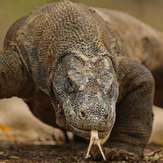 Комодский варан – самая большая ящерица-хищник