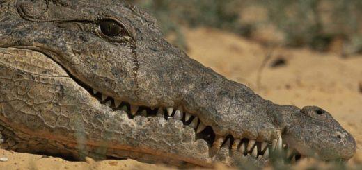 Крокодилы плачут не слезами
