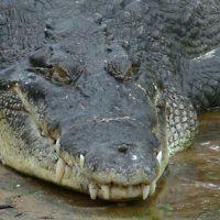 Крокодил-людоед Густав – герой фильма ужасов, до сих пор охотится на людей