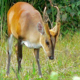 Мунтжаки - лающие олени с клыками, похожие на собак