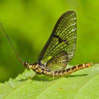 Поденки – насекомое, которое никогда не ест и живет один день