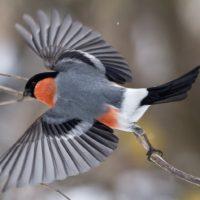 Интересные факты о снегирях, виды, образ жизни, питание, размножение