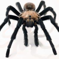 Интересные факты о тарантулах, питание, среда обитания, виды, размножение, опасность