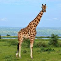 Интересные факты о жирафах, описание, образ жизни, роль в экосистеме